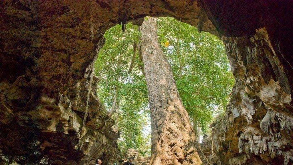 Di Gunungkidul Ada Pohon Besar Dalam Gua