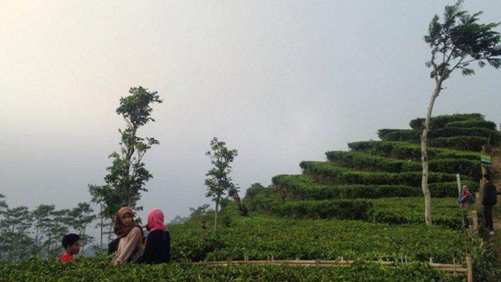 Bukan Lembang, Ini Kebun Teh Cantik di Kulonprogo
