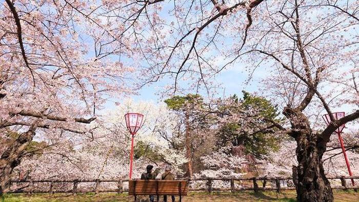 Bikin Kaget Bunga Sakura Di Jepang Bermekaran Saat Musim Gugur