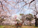 Bikin Kaget! Bunga Sakura di Jepang Bermekaran Saat Musim Gugur