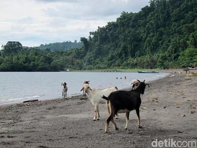 Mau Coba, Main ke Pantai Sama Kambing di Jailolo