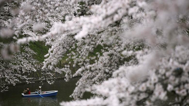 Ilustrasi bunga sakura mekar di Jepang (Thinkstock)