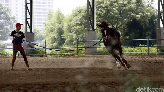 Seorang petugas melatih kuda di lapangan latihan Pacuan Kuda Pulomas, Jakarta, Rabu (20/4/2016). Kuda-kuda milik atlet dan pecinta olahraga berkuda ini harus dilatih setiap hari agar terbiasa dan lincah saat digunakan oleh pemiliknya. Dalam sehari, pelatih ini membawa kuda-kuda tersebut berjalan pagi dan sore untuk membiasakan dan menjaga kesehatan kuda-kuda tersebut. (FOTO: Rachman Haryanto/detikcom)