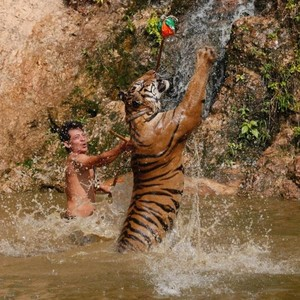 Unik, Kebun Binatang Latih Harimau Pakai Parfum Calvin Klein