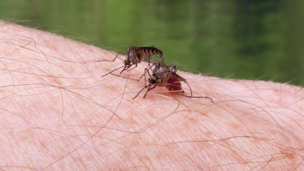 5 Fakta Unik Tentang Nyamuk yang Belum Kamu Ketahui (2)