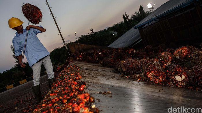 Ilsutrasi kelapa sawit/Foto: Reno Hastukrisnapati Widarto