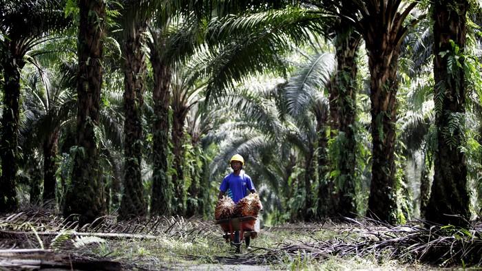 Mengunjungi perkebunan milik PT Sawit Sumbermas Sarana Tbk, Kalimantan Tengah. PT SSMS memiliki luas lahan sekitar 100 ribu hektar. Reno/detikcom.