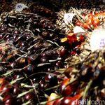 Corona Bikin Ekspor Loyo, Pengusaha Sawit Lirik Dalam Negeri