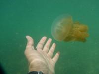 Ada empat jenis ubur-ubur yang bisa kamu temukan di sini yaitu ubur-ubur bulan, kotak, totol, dan terbalik. (Afif Farhan/detikcom)5