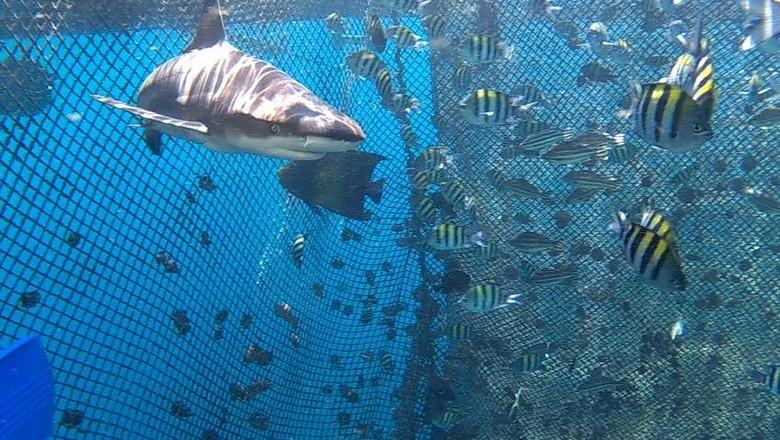 hiu yang ada di bangsring