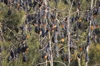 NSW Anggarkan Dana Rp 25 Miliar Untuk Berantas Kelelawar