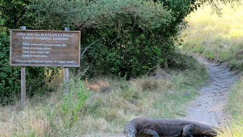 Komodo di Pulau Rinca (Shafa/detikTravel)