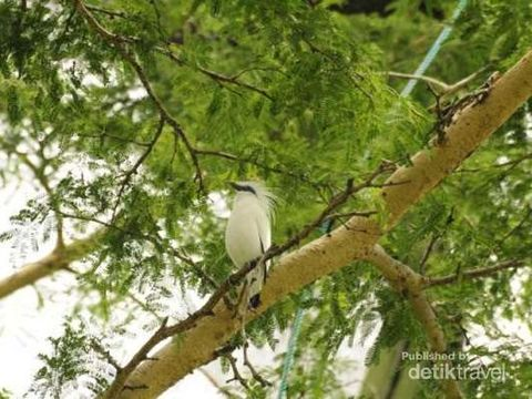 Burung Jalak Bali yang hampir punah