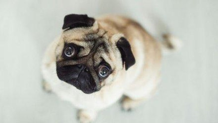 Ilustrasi anjing. Foto: Getty Images