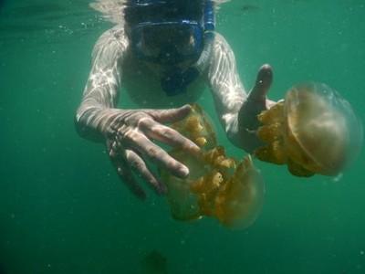3 Tempat di Indonesia yang Punya Ubur-ubur Tak Menyengat