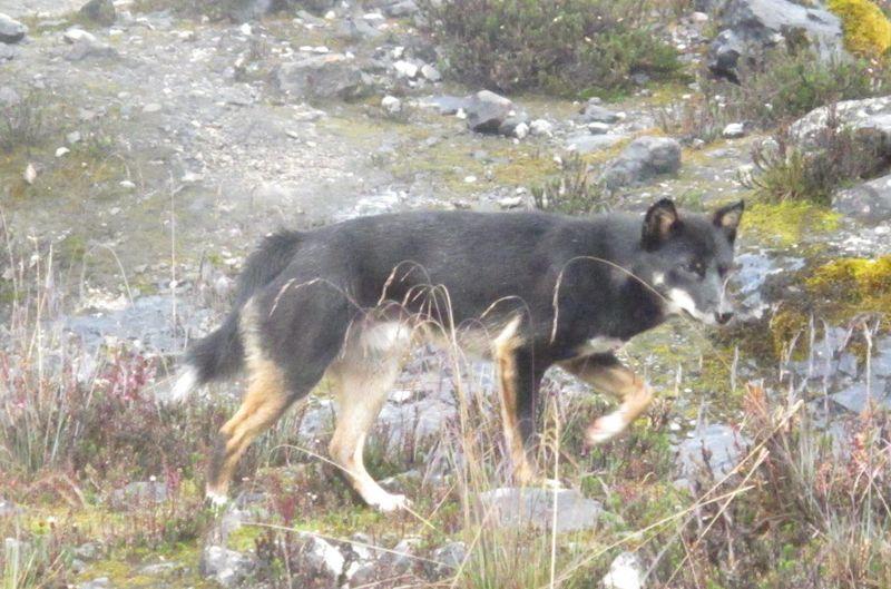 Para peneliti menemukan spesies anjing baru yang hidup di kawasan Grasberg, di Tembagapura, Mimika, Papua. Anjing yang serupa serigala itu tidak dapat menggonggong, hanya mengeluarkan suara teriakan panjang atau melolong. Serta, memiliki ciri-ciri seperti dingo di Australia (Istimewa/Maximus)