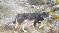 Foto: Inikah Dingo, Anjing Misterius di Papua?