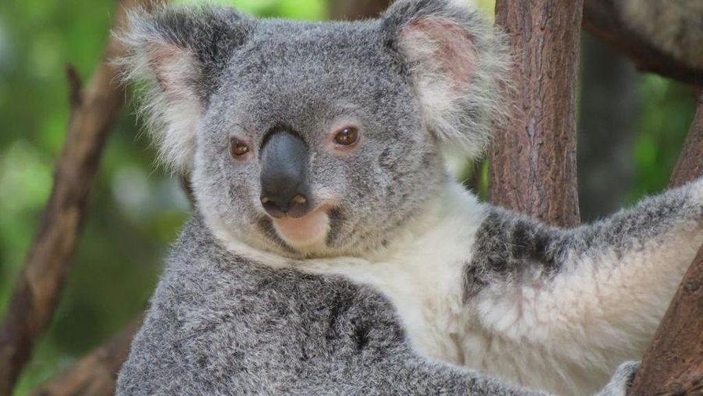 Kebakaran Hutan di Australia Ancam Kematian Ratusan Koala