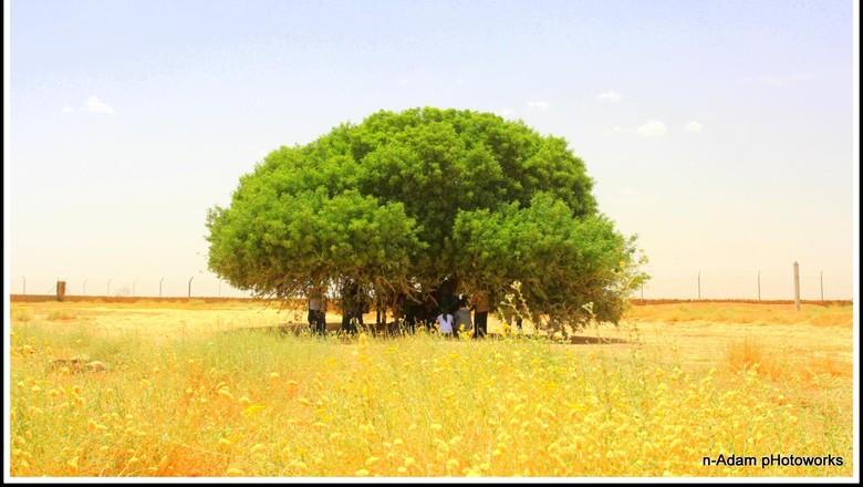Kisah Pohon Sahabi yang Jadi Sahabat Nabi di Masa Kecil