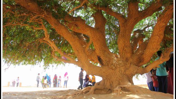 Kisah Pohon Sahabi yang Jadi 'Sahabat' Nabi di Masa Kecil