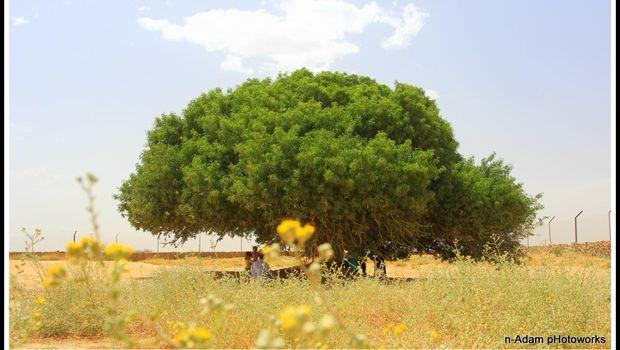 Tentang Kisah Nabi Muhammad Bertemu Rahib Buhaira di Bawah Pohon Sahabi