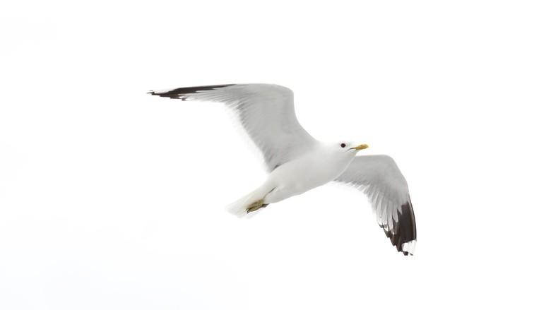 Ilustrasi burung camar. (Foto: Thinkstock)