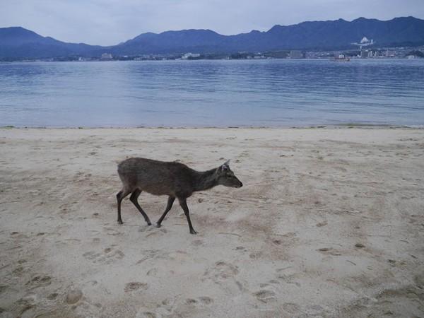 Selama jalan-jalan di pulau, siap-siap bertemu banyak rusa yang menggemaskan. Rusa-rusa tersebut memang liar, tapi kebanyakan cukup jinak dan tidak membahayakan (Kurnia/detikTravel)