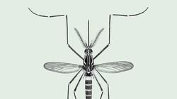 Lebih dari 3.000 spesies nyamuk ada di dunia, namun hanya beberapa di antaranya yang berbahaya bagi kesehatan manusia. Apa saja? Berikut 6 di antaranya.