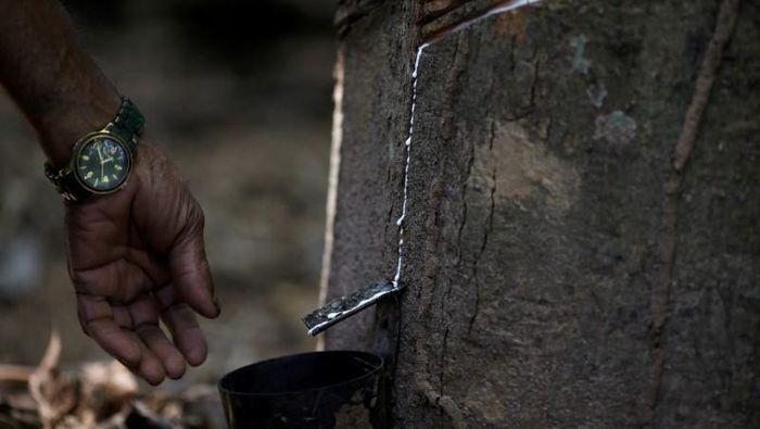 Penyadapan karet/Foto: REUTERS/Ricardo Moraes