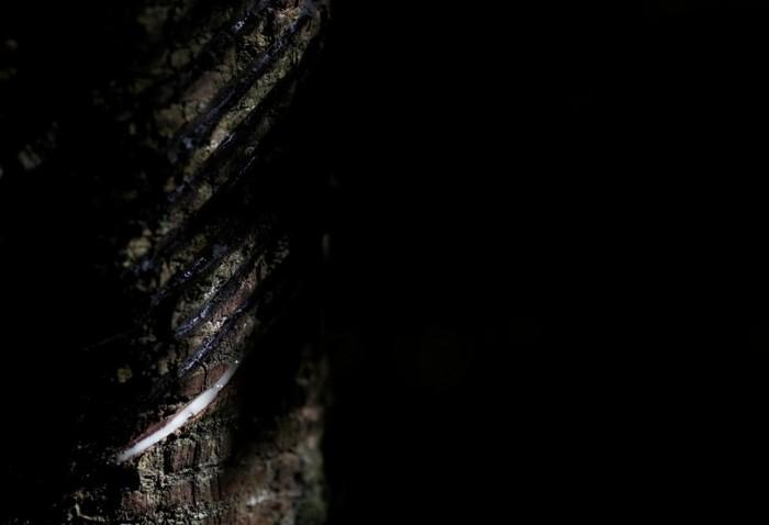 Kondom yang dibuat oleh Natex ini berbahan dasar getah pohon karet Seringueira. Pohon ini memiliki habitat asli di hutan Amazon. (Foto: REUTERS/Ricardo Moraes)