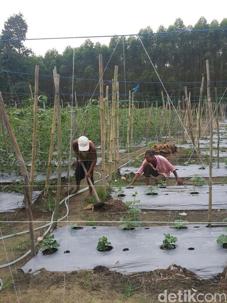 Kisah Suryono Pemilik Sawit Sukses Ubah Nasib Jadi Petani Hortikultura