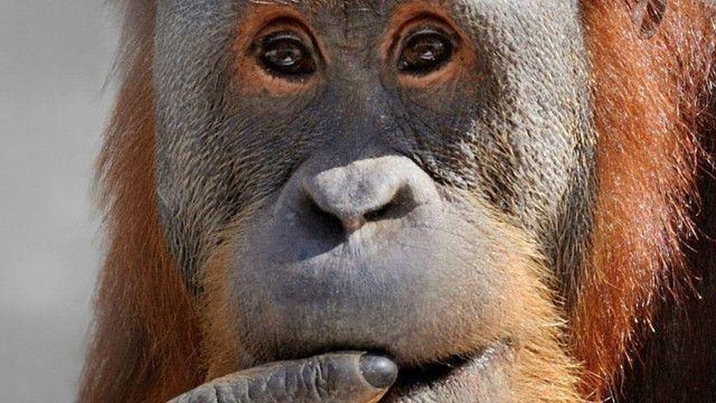 2 Orangutan Sumatra yang Diselundupkan ke Thailand Dipulangkan ke RI