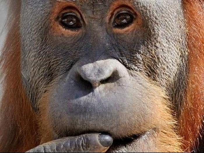 Orangutan meniru bahasa manusia
