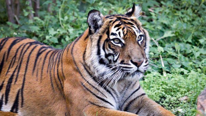 Kena Kanker Setia Si Harimau Sumatera Disuntik Mati Di Perth Zoo