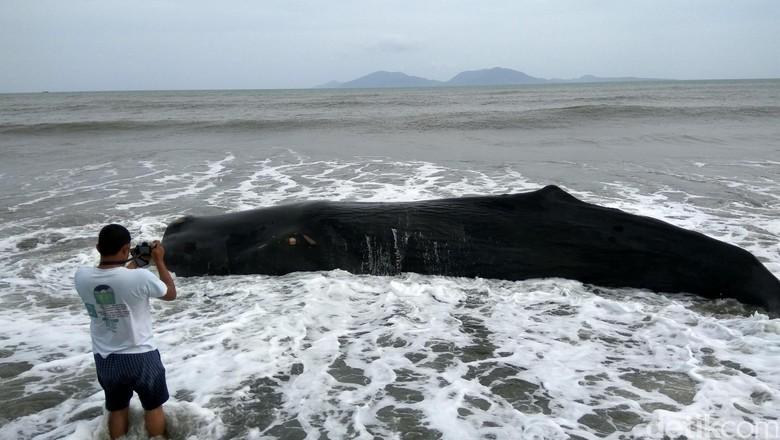Bangkai Paus Ditemukan di Wakatobi, Isi Perutnya Sampah Plastik