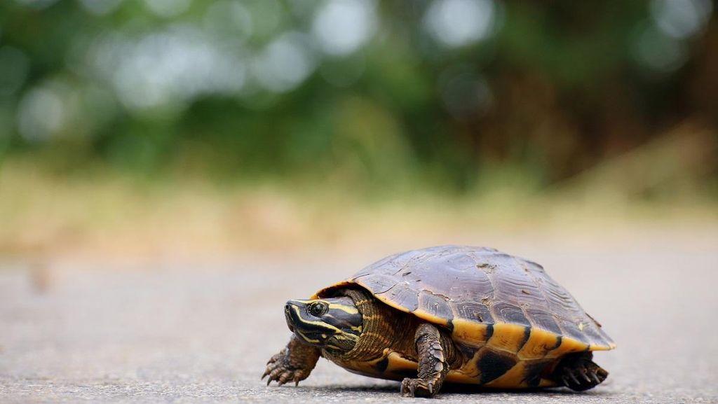 Karena Kura-kura, Kereta di Jepang Tertunda 45 Menit