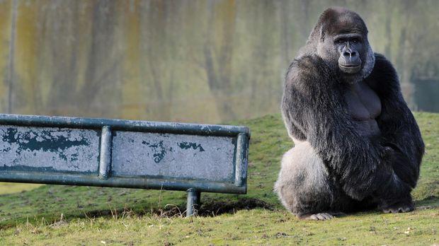 Ilustrasi seekor gorila silverback.