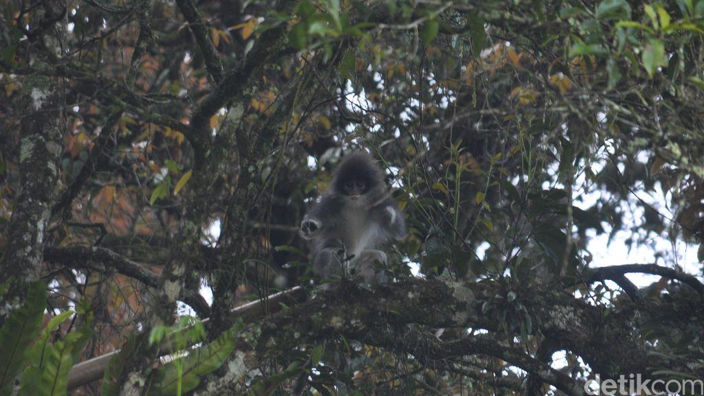 Mengenal Monyet Langka Surili yang Bikin Heboh Warga Cianjur
