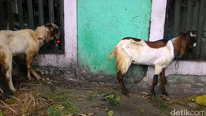 Ilustrasi kambing (Foto: Yulida Medistiara)