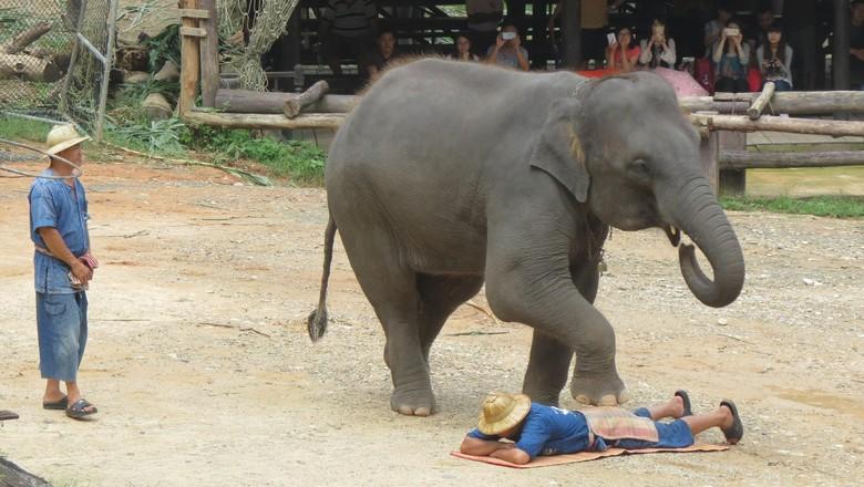 Maesa Elephant Camp, penangkaran gajah di Chiang Mai