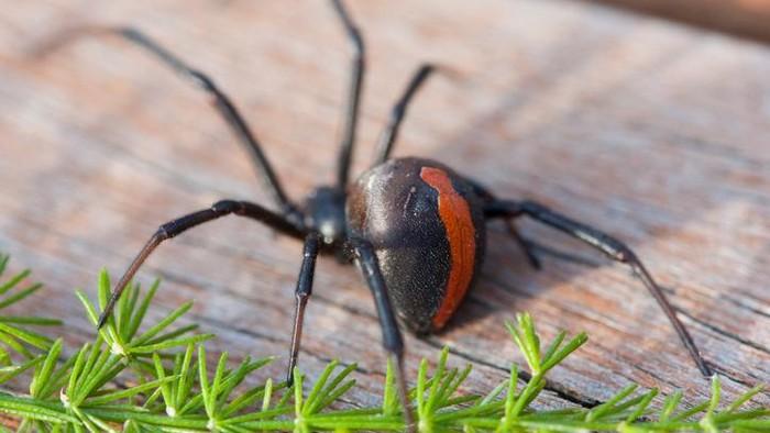 Siapa di antara kamu yang punya fobia laba-laba? (Foto: Thikstock)