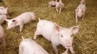 Anggaran Pengadaan Babi Rp 5 M Disoal DPR