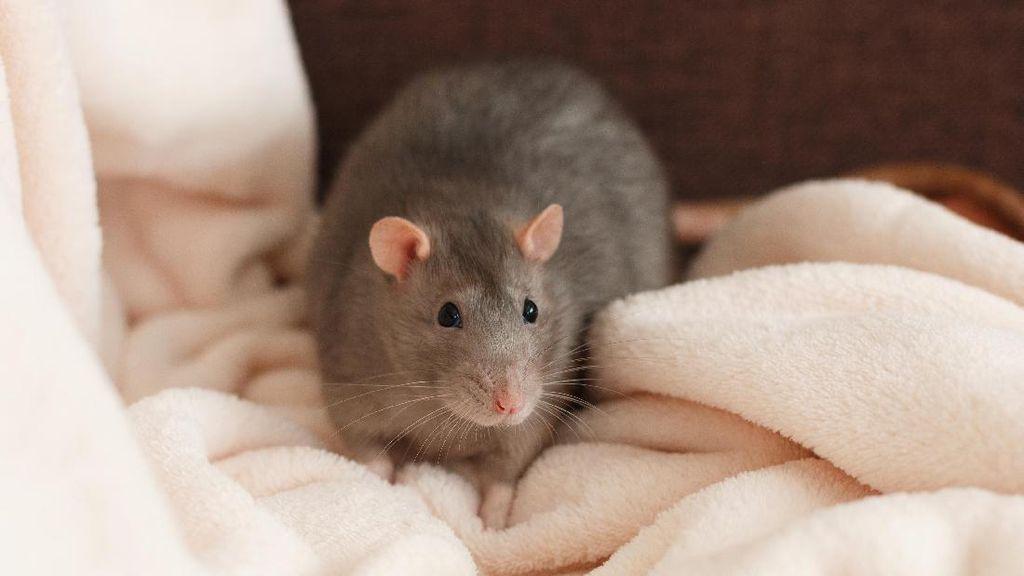 Bingungnya Kucing Melihat Tikus yang Baku Hantam