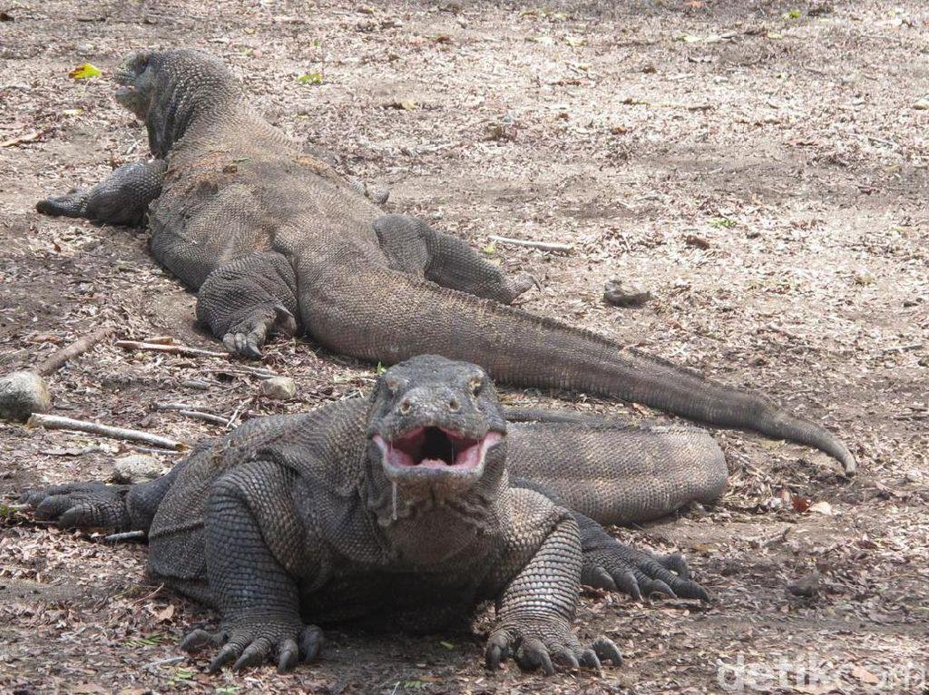 Pengumuman! Pulau Komodo Tidak Jadi Ditutup
