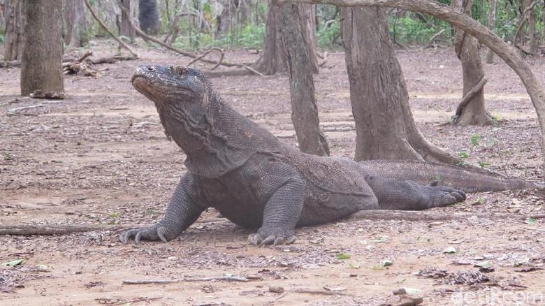 Komodo di Pulau Komodo, NTT (Afif//detikTravel)