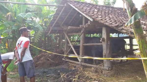 Kerbau Korban Ledakan di Bantul Mati, Garis Polisi Dipasang di Kandang
