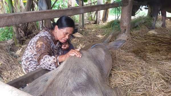 Penyebab Kerbau yang Injak Bom Rakitan Mati: Luka karena Paku Berkarat di Tubuh