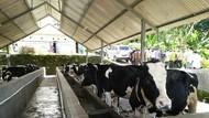 Tak Wajibkan Industri Serap Susu Lokal, Ini Alasan Kementan
