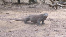 Kenali Lagi Komodo, Si Hewan Kanibal