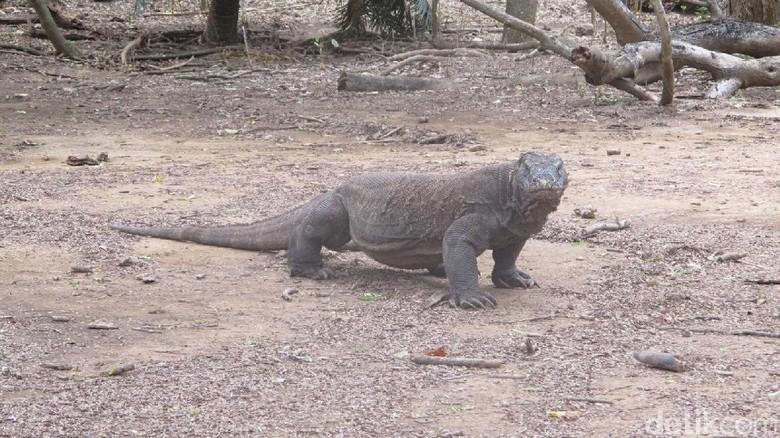 Komodo di Pulau Komodo (Afif Farhan/detikcom)